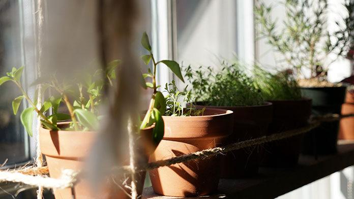 Czy warto stosować peruwiańskie zioła